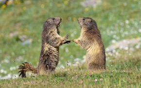 Picture grass, pose, glade, spring, claws, stand, marmot, bokeh, rivals, marmots, males, two Groundhog