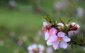 Picture blurred background, the almond tree, flowering branch