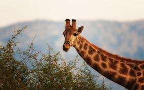 Picture barb, giraffe, neck, bokeh