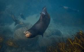 Picture Navy seal, Jennifer Lu, Arctocephalinae, fur seal