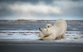 Picture winter, snow, bears, pair, bear, white, polar bear, cub, mom, two, polar bears, stretching