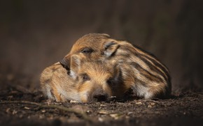 Picture nature, the dark background, sleep, pair, boar, kids, a couple, two, sleep, lie, cubs, striped, …