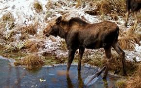 Picture winter, snow, nature, shore, ice, pond, moose, calf, moose, calf