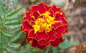 Picture flowers, brown, marigolds, Meduzanol ©