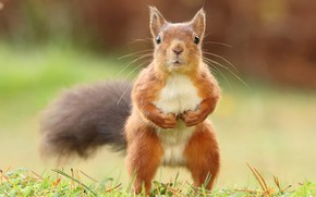 Picture grass, look, pose, background, legs, protein, tail, red, is, face, stand, squirrel, funny, tum