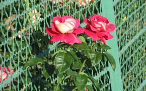 Picture The fence, Summer, Mesh, Pair, Roses, Raspberry, Meduzanol ©