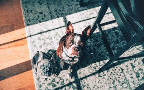 Picture look, carpet, puppy, two dogs, faces, French bulldog, Boston Terrier