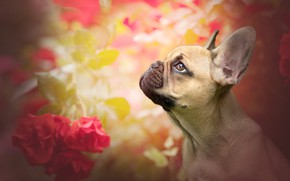 Picture face, flowers, background, portrait, roses, dog, profile, French bulldog