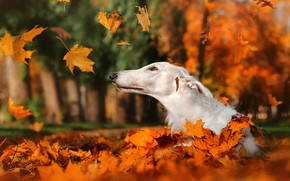 Picture autumn, leaves, nature, Park, animal, dog, head, falling leaves, dog, Greyhound