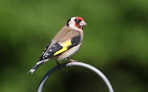 Picture bird, bird, goldfinch
