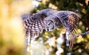 Picture flight, owl, bird, wings, bokeh, owl