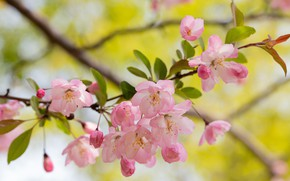 Picture flowers, branch, spring, pink, Apple, flowering, yellow background, Apple blossoms