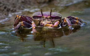 Picture purple, look, water, crab, pond