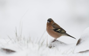 Picture winter, snow, nature, bird, bokeh, Chaffinch