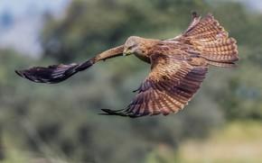 Picture bird, flight, a family of hawk, Black kite