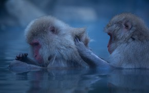 Picture winter, water, pose, macaques, two, wool, bathing, pair, monkey, monkeys, a couple, pond, blue background, …