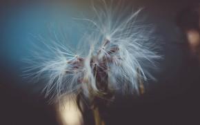 Picture nature, background, dandelion