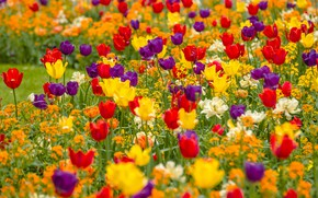 Picture yellow, purple, tulips, red, flowerbed, a lot