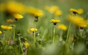 Picture flowers, yellow, dandelions, field, bokeh