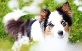 Picture greens, summer, face, flowers, glade, portrait, dog, meadow, puppy, the border collie, odd-eyed