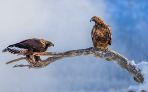 Picture winter, look, snow, birds, nature, pose, eagle, two, branch, pair, eagle, the eagles, two, blue …