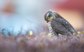 Picture nature, bird, Sparrowhawk