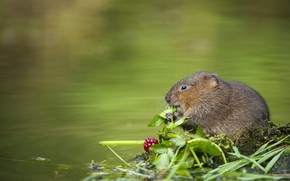Picture shore, mouse, berry, pond, water, the water rat, water vole, crisw