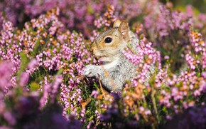 Picture protein, rodent, Heather, pet