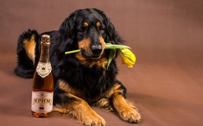 Picture flower, face, yellow, background, wine, Tulip, bottle, dog, paws, lies, on the floor, Retriever