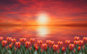 Picture sunset, flowers, tulips