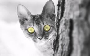 Picture cat, cat, look, muzzle, kitty, monochrome, eyes, The Devon Rex