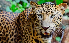 Picture look, face, background, portrait, mouth, leopard, wild cat, handsome