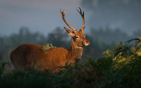 Picture look, face, light, nature, deer, horns, fern