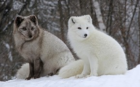 Picture winter, forest, white, snow, grey, pair, Blizzard, snowfall, two, Fox, foxes