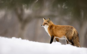 Picture snow, blur, Fox, red