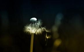 Picture grass, nature, dandelion