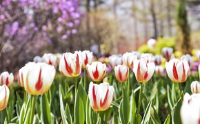 Picture flowers, spring, tulips, striped