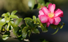 Picture flower, leaves, light, pink, branch, Camellia