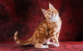Picture cat, look, face, pose, kitty, paws, fluffy, red, is, ears, kitty, striped, red background, stand, …
