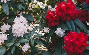 Picture flowering, rhododendrons, Elvira Zakharova