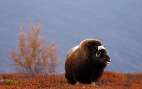 Picture field, autumn, look, face, mountains, nature, background, tree, musk ox
