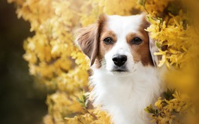 Picture look, face, portrait, dog, flowering, the bushes, flowers, forsythia
