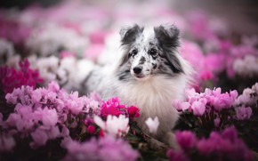 Picture look, face, flowers, portrait, dog, bokeh, Sheltie, cyclamen, Shetland Sheepdog