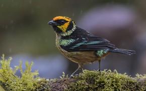 Picture bird, moss, bokeh, ognennaya Tanagra