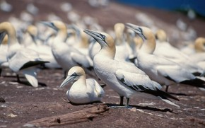 Picture birds, pack, the Northern Gannet