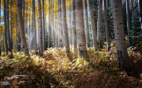 Picture autumn, forest, morning, birch