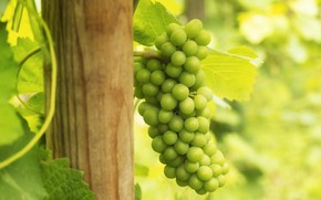 Picture leaves, light, green, grapes, bunch, bokeh, vine