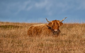 Picture field, the sky, grass, stay, cow, pasture, meadow, red, lies, red, bull, Scottish, Scottish