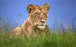 Picture the sky, grass, grass, lioness, sky, lioness