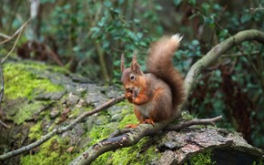 Picture forest, look, leaves, nature, pose, background, thickets, moss, portrait, legs, protein, muzzle, tail, red, log, …